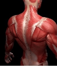 Курсы анатомии для массажистов (мышцы тела) в Санкт-Петербурге