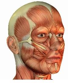 Курсы анатомии мышц лица для массажистов в Санкт-Петербурге